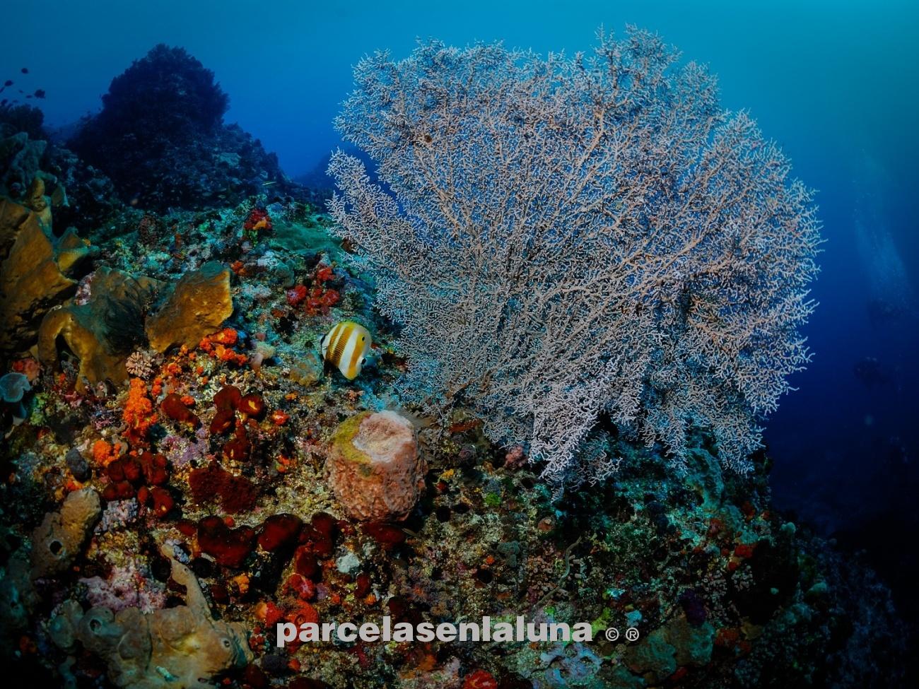 gorgonian maldivas - el fondo del mar - fotosubpasqui-fotografía-submarina-naturaleza-fotosub-dive-buceo-viajar-trip