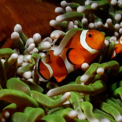 pez payaso