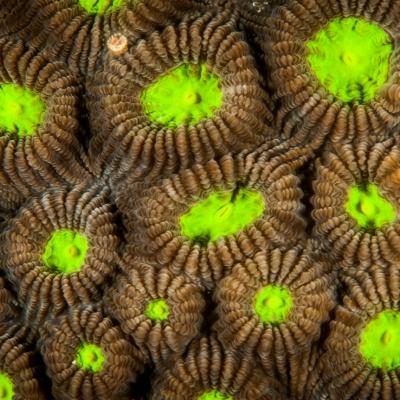 cabezas de coral