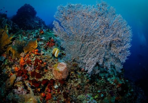 gorgonian maldivas