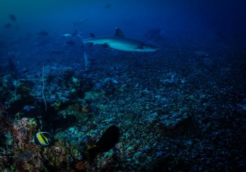 tiburón punta blanca