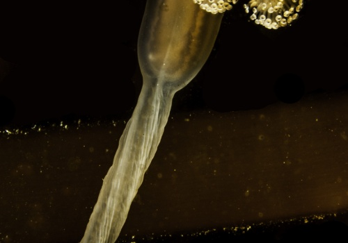Stalked Jellyfish – Lucernaria quadricornis