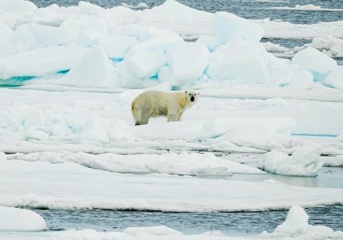 vida salvaje ártico