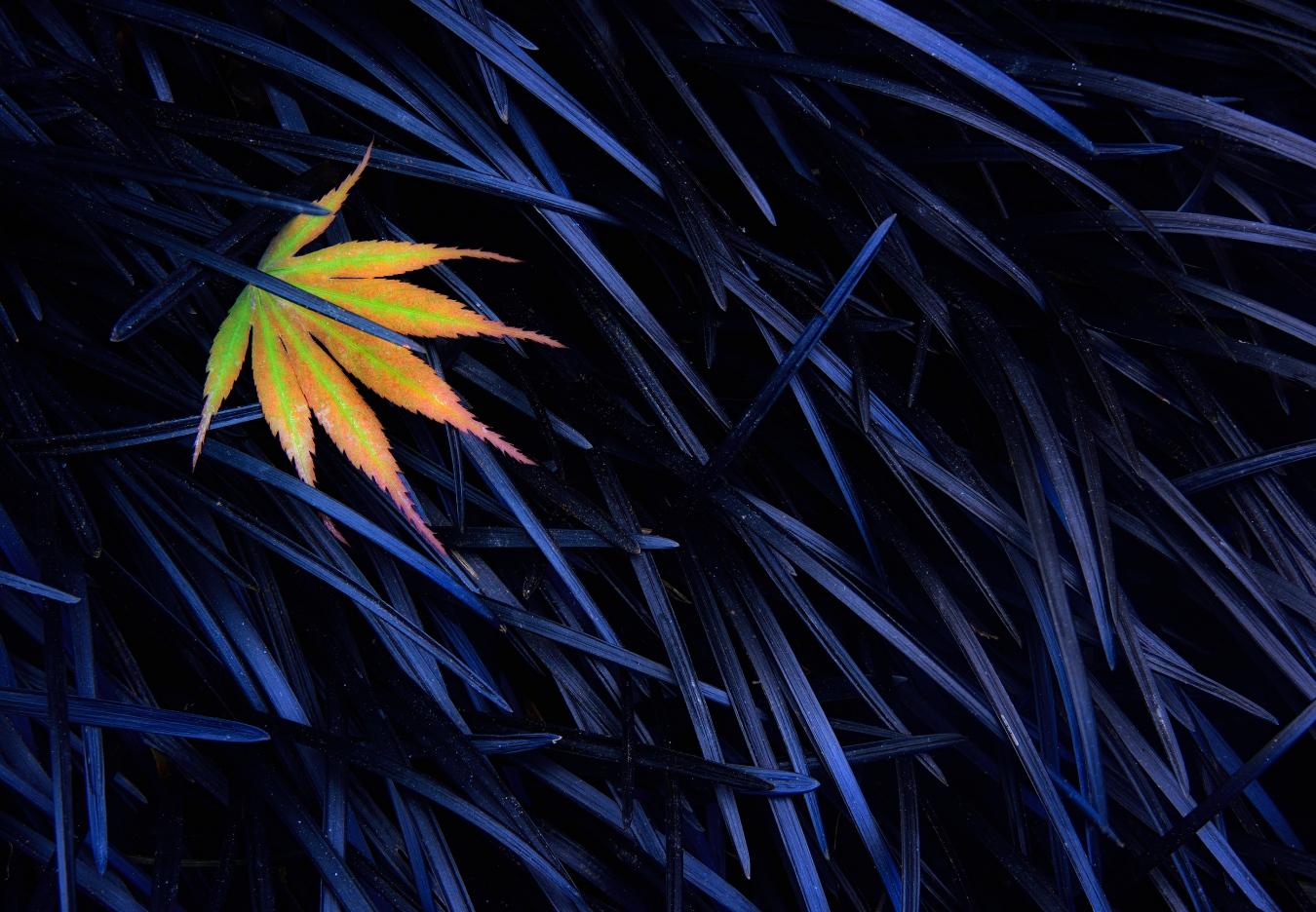 Maple Leaf on Black Knight - Cesar Llaneza - Portfolio Natural, Fotografía de Naturaleza de Autor
