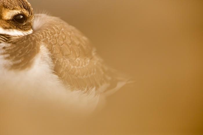 Look of plover