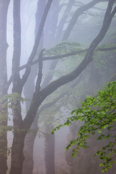 arbol, hayedo, navarra, urbasa, luz, niebla, fog, pixelecta
