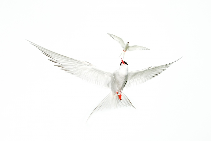 Terns Dance