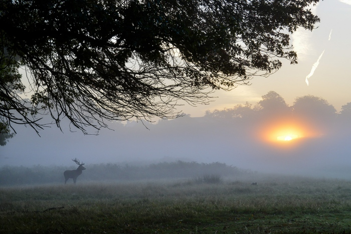 Stag at Sunrise