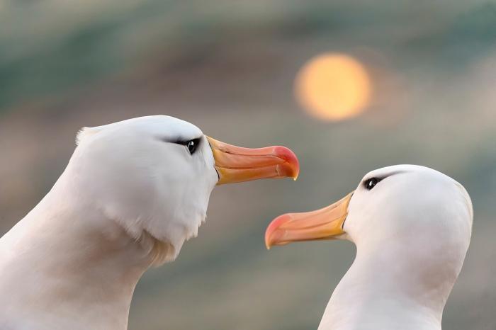 DARÍO PODESTÁ - Albatros in love