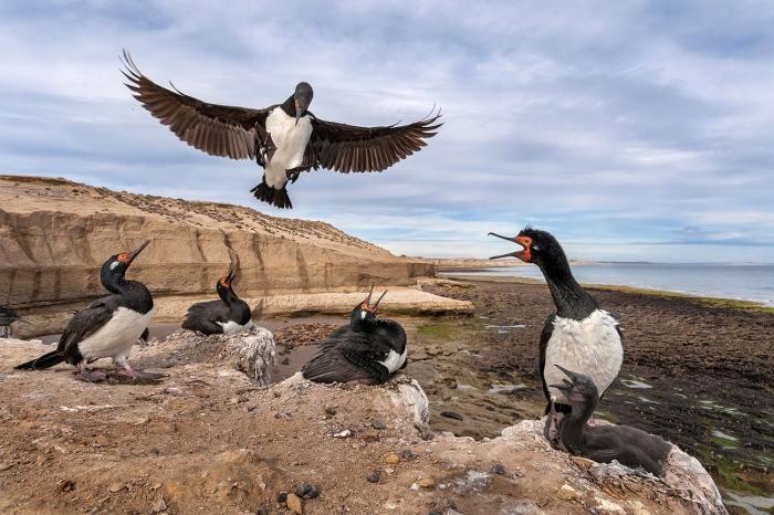 DARÍO PODESTÁ - Cormorant colony