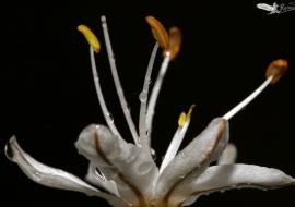 Asphodelus cerasiferus