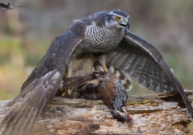 Common Goshawk (Accipiter gentilis)