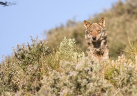 Iberian Wolf (Canis lupus)