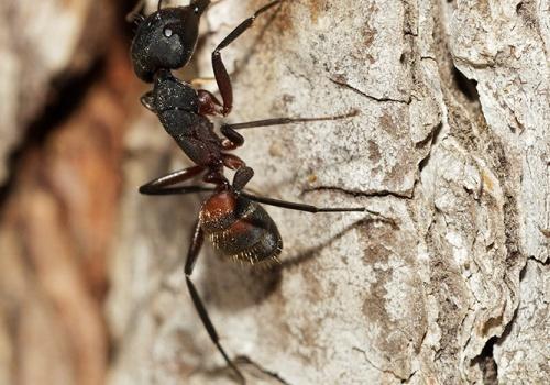 Hormiga Camponotus cruentatus