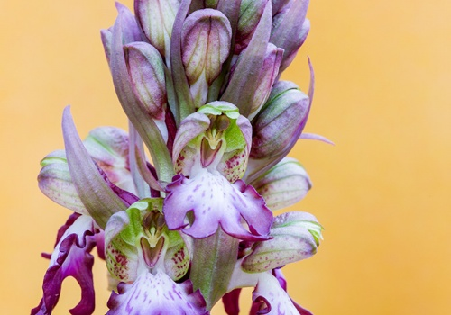 Barlia robertiana(Himantoglossum robertianum