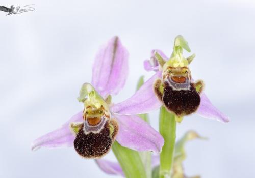 Ophrys apifera pareja