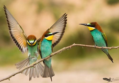 Abejaruco Merops apiaster posados