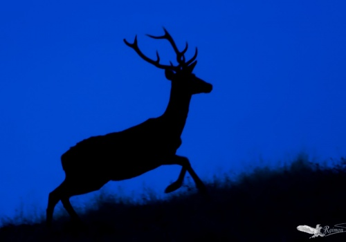 silueta ciervo amanecer