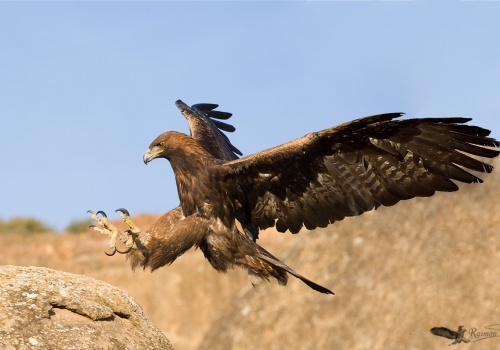 Aguila Real Aquila Chrysaetos a punto de aterrizar