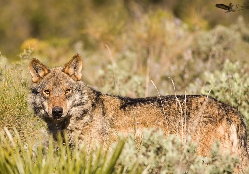 Lobo Iberico Canis lupus