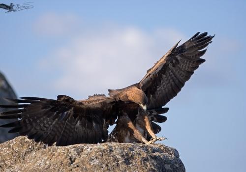 Aguila Real Aquila Chrysaetos aterrizando