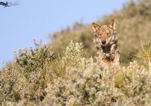 Lobo Iberico Canis lupus cielo azul