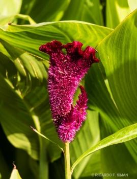 Cockscomb, Celosia Cristata, Generalife