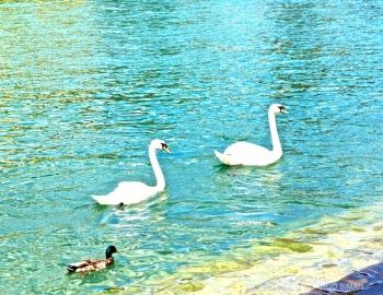 dsc 8265 Cisnes en Lucerna