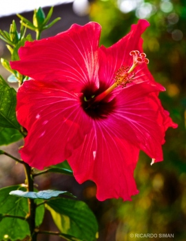 Hibiscus rosa-sinensis 'Kyoto Red'
