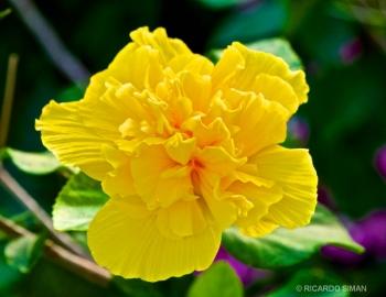 Tagetes Marigold