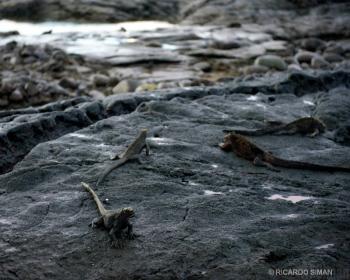 Iguanas Marinas y Terrestres