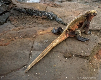 Iguana Terrestre de Galápagos