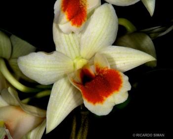 dsc 3722. Dendrobium Dawn Marie