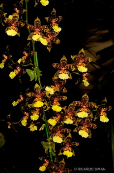 dsc 3712. Oncidium Saint Anthony of Egypt
