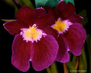 dsc 3705. Miltoniopsis Royal Crum