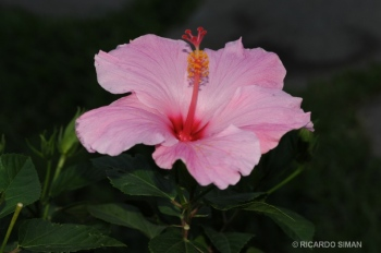 dsc 1211 Pink Hibiscus Flower