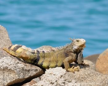 dsc 0595  Iguana, el Caribe.
