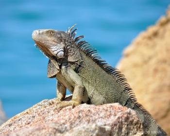 Iguana, el Caribe.