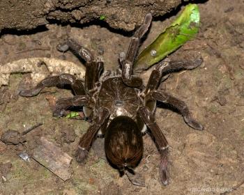 Araña en selva amazónica peruana.