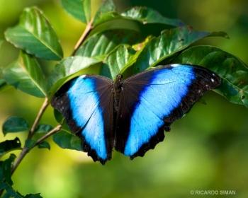 Mariposa en selva amazónica peruana.