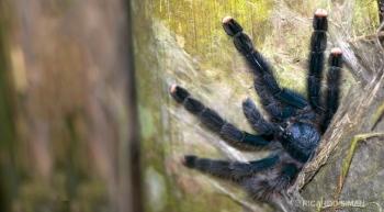 Araña en Selva amazónica, Perú.