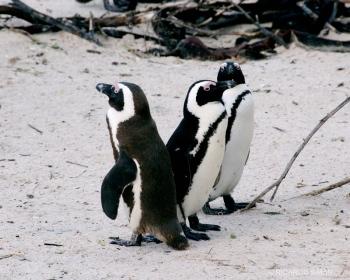 Pinguinos, Ciudad del Cabo