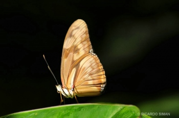 Mariposa en Monteverde
