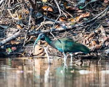 _DSC3284 El ibis verde,Brasil