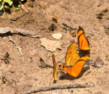 _DSC3538 Mariposa Julia,Brasil