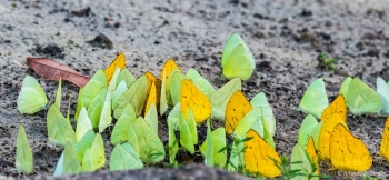 _DSC3605 Mariposas de Azufre, Amarillas y Verdes,Brasil