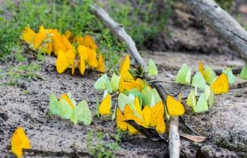 _DSC3610 Mariposas de Azufre, Amarillas y Verdes,Brasil