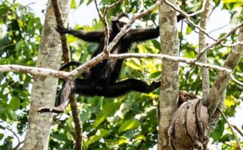 _DSC3894 Mono araña cara blanca,Brasil