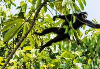 _DSC3921 Mono araña cara blanca,Brasil