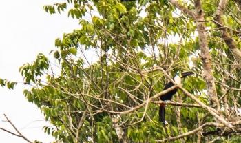 _DSC4109 Tucán Grande de cuello blanco,Brasil
